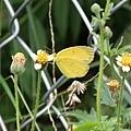 寬邊黃粉蝶