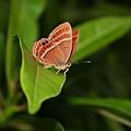 蛇目蝎蜆蝶
