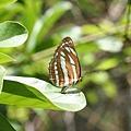 中環蛺蝶 Common Sailer