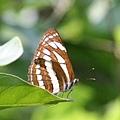 中環蛺蝶 Common Sailer (有點透明的翅)