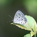 鈕灰蝶 Commoe Hedge Blue
