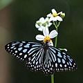 擬旖斑蝶 Ceylon Blue Tiger