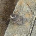 路上的 baby 麻雀~ :D