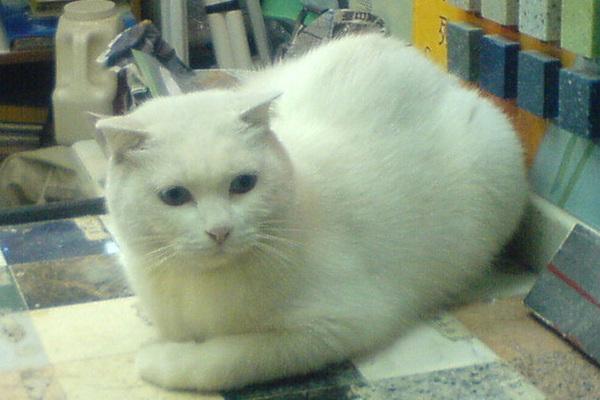 樓下裝修公司的大白貓