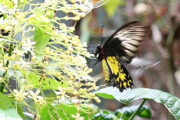 Butterfly (鳳蝶?)
