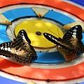 Butterflies eating