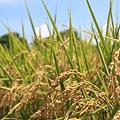 台東 旱稻