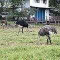 瑞穗牧場 - 駝鳥