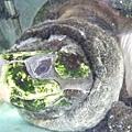 可憐的大烏龜