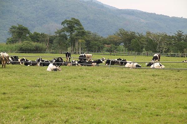 瑞穗牧場 - 乳牛