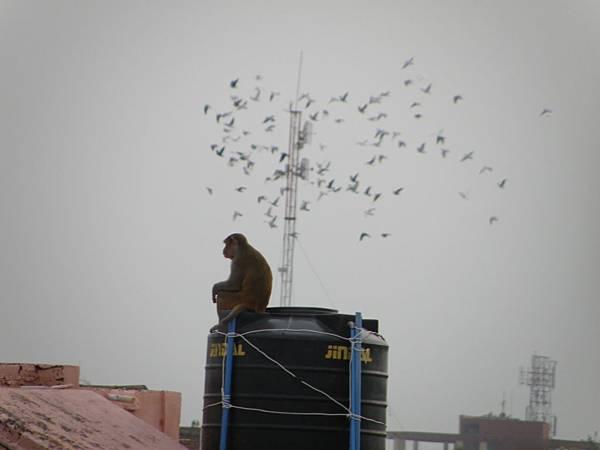 agra的猴子,他是看管水塔的