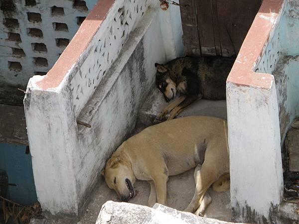Udaipur狗