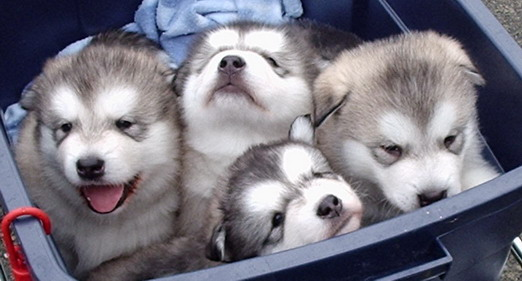 阿拉斯加雪橇犬 3.jpg