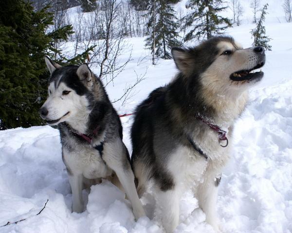 阿拉斯加雪橇犬 4.jpg