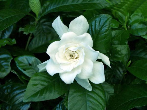 白玫瑰.jpg