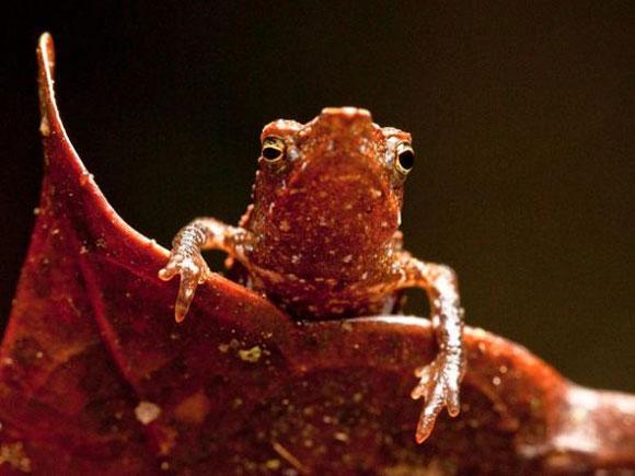 時代雜誌10大新物種 喙蟾蜍是少數幾種成長過程不必經過蝌蚪階段的蟾蜍之一