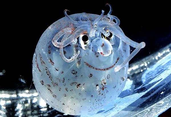 美國 笑臉 魷魚 小魷魚長著一幅笑瞇瞇的臉龐,可愛極了
