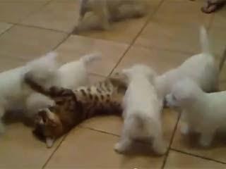 最可愛的犯罪 小白狗 5、6隻小白狗「圍毆」無辜的花貓