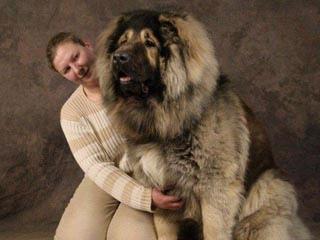 高加索犬 全世界體型最大的狗「犬中之王」