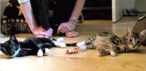 罕見 昏倒貓 「好可愛」短短一週突破百萬人次點閱