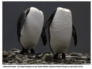 南喬治亞無頭企鵝 牠們可不是幽靈的無頭企鵝,其實是兩隻活生生的國王企鵝