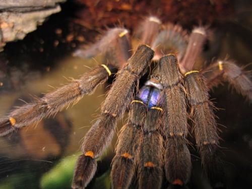 時代雜誌10大新物種 藍牙狼蛛(Bluetooth Tarantula)