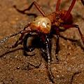 最暴力蟲蟲 行軍蟻 Army or Soldier Ant (Eciton burchellii)