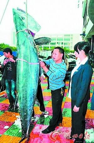 巨型馬鮫魚 體重竟高達100公斤