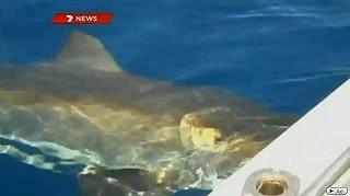 澳洲大白鯊撞船 也許是因此惹得大白鯊不高興。