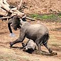 讚比亞 鱷魚突襲大象 緊追不捨轉而攻擊小象