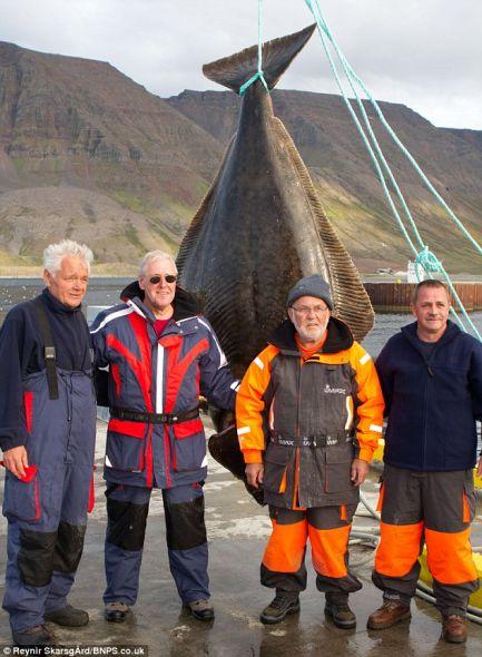 超大比目魚 身長最多可達15英尺