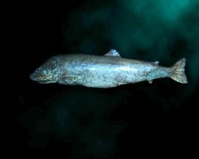 新疆喀納斯湖 湖怪 人們常說的喀納斯「湖怪」可能是哲羅鮭