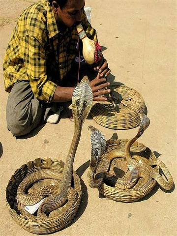 蛇人部落 「舞蛇」在南亞已經有著上千年的歷史