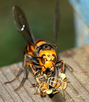 最暴力蟲蟲日本大黃蜂 Japanese Giant Hornet (vespa mandarinia japonica)