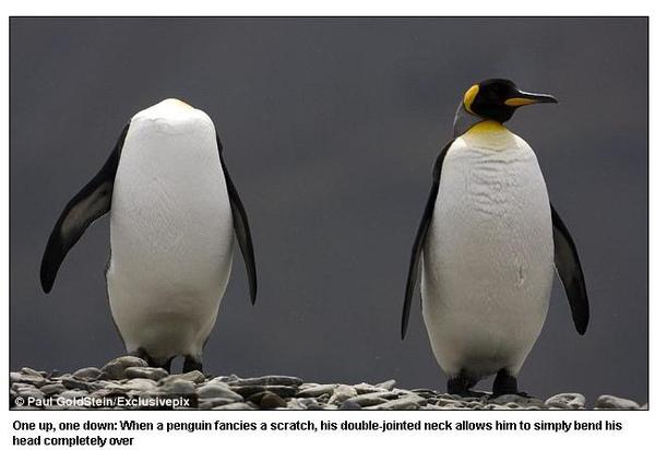 南喬治亞無頭企鵝 牠們的脖子擁有雙關節,因此背後癢的時候,真的可以「不求人」