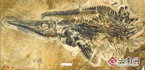魚龍化石。(圖/擷取自雲南網)