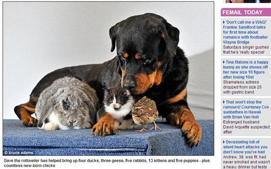 英國 最博愛 狗褓姆 救 動物「Dave」,救過無數隻不同的小動物,還會主動照顧牠們。