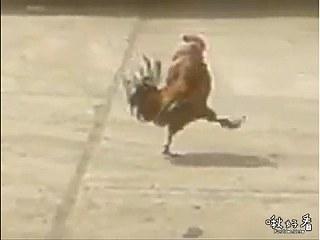 公雞踢正步 公雞也會踢正步