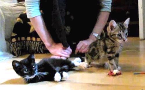 罕見 昏倒貓 悲傷的故事有網友惡搞影片