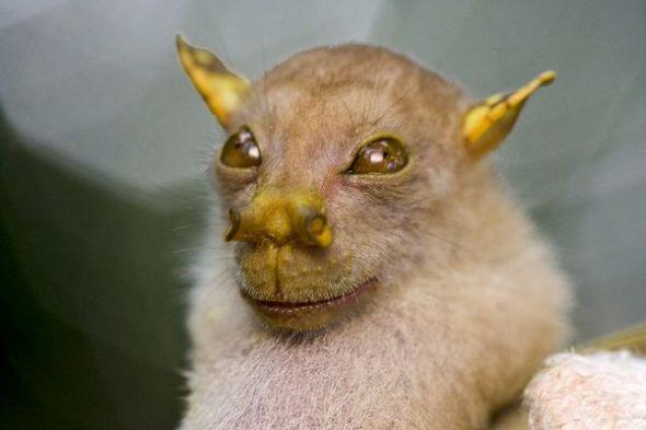 時代雜誌10大新物種 像好萊塢電影「星際大戰」中尤達大師的管鼻果蝠