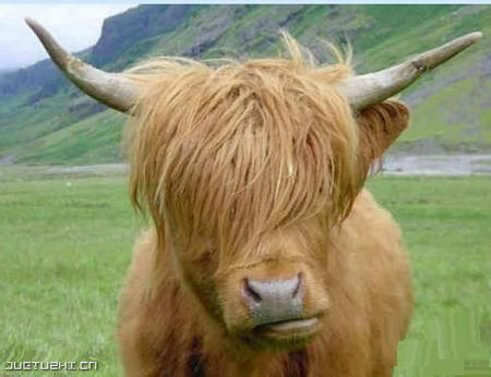 南非周董牛 非主牛 乾脆養一隻