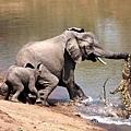 讚比亞 鱷魚突襲大象 緊咬著象鼻不放