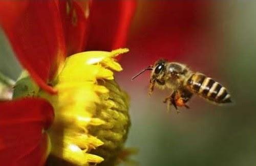 10種世界末日 9. 蜂群衰竭(Bee colony collapse,可能性:70%)