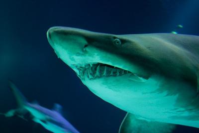 章魚 吞掉 鯊魚 這條鯊魚被章魚吞掉了