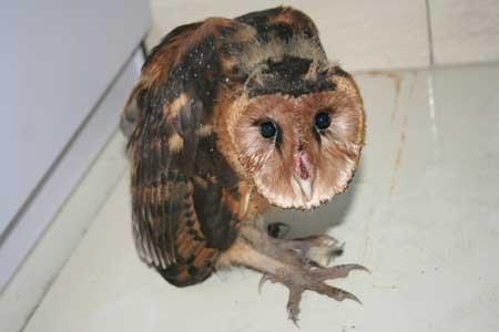 猴面怪物 猴面應 「怪物」是猴面鷹,屬貓頭鷹中的一種,是國家二級保護動物