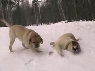 爆笑滑雪 拉布拉多狗 另類的滑雪方式