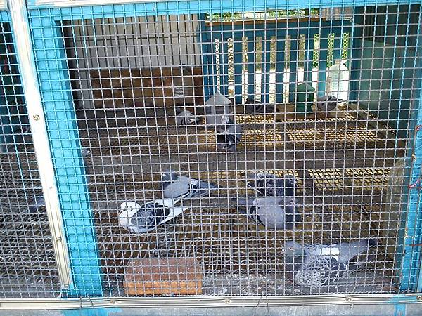 種鴿.jpg