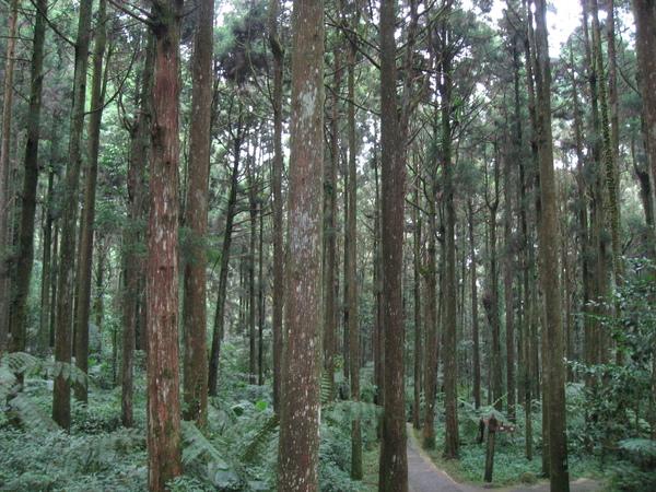 溪頭的竹林