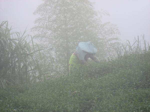 霧裡的採茶姑娘
