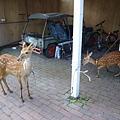 潛店旁的梅花鹿